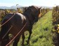 Recaredo ploughs vineyards by horse